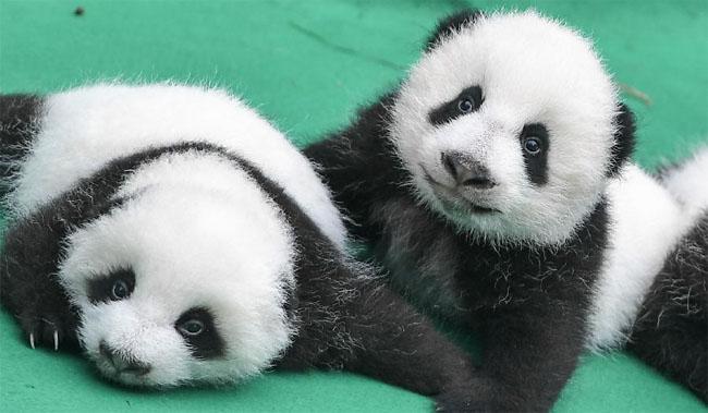 le nombre de pandas en captivit travers le monde atteint 520. Black Bedroom Furniture Sets. Home Design Ideas