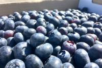 蓝莓图2_086237_086409.jpg