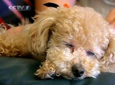 Japon : de la musique pour calmer les chiens