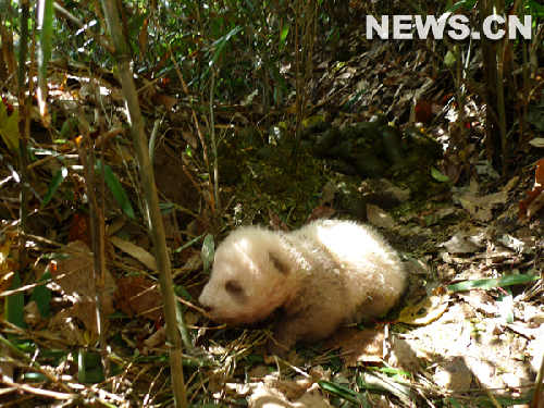 Un panda de gouttière